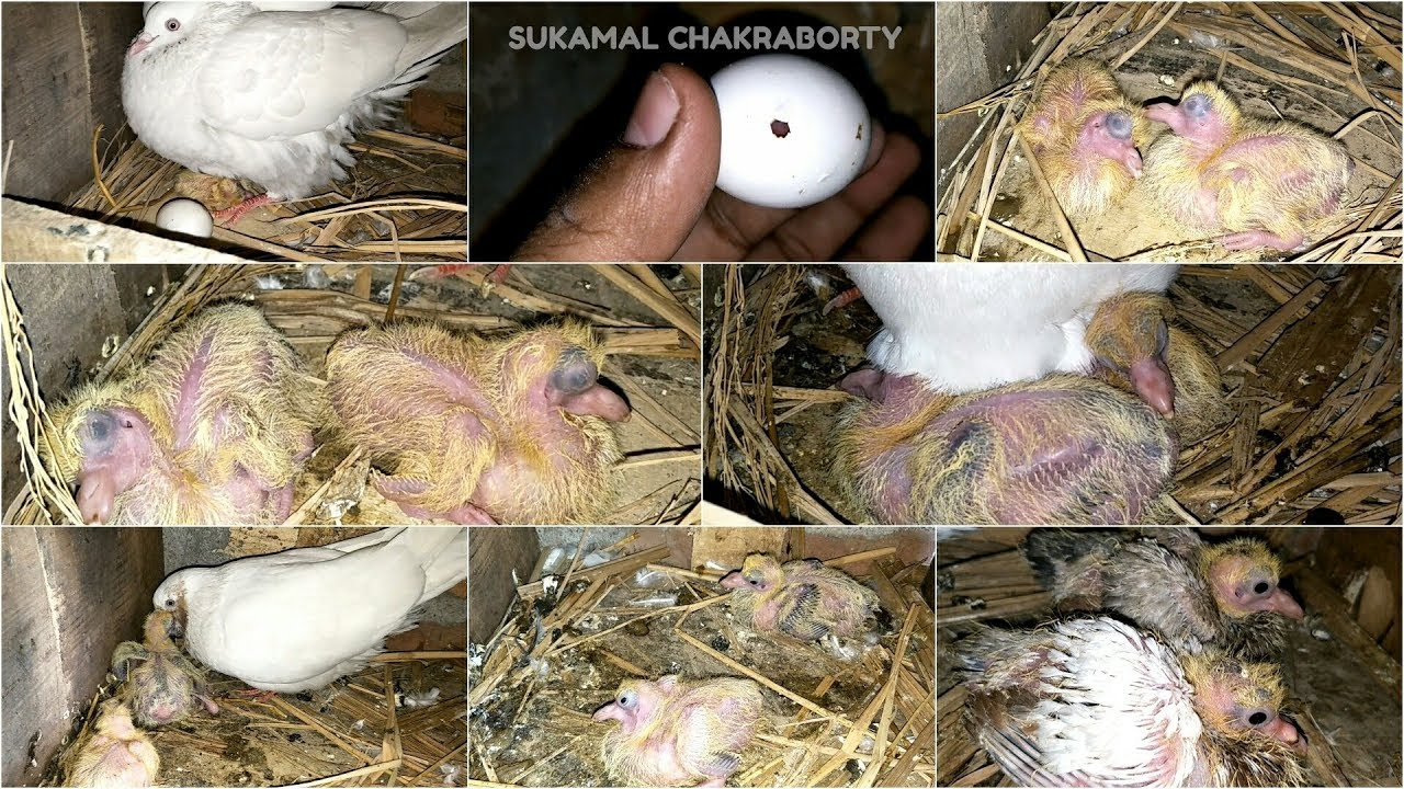 PIGEON BABY DAY TO DAY GROWITH & PROGRESS (FIRST TWO WEEKS ...