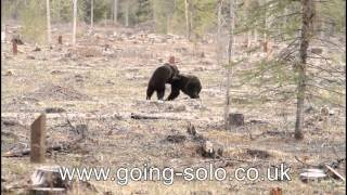 two grizzly bears play fighting in banff national park
