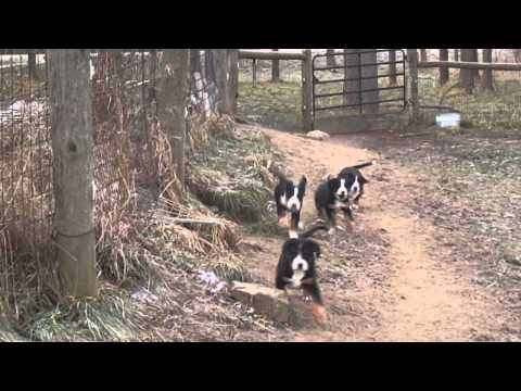 Greater Swiss Mountain Dog Puppies...outside for the first time.
