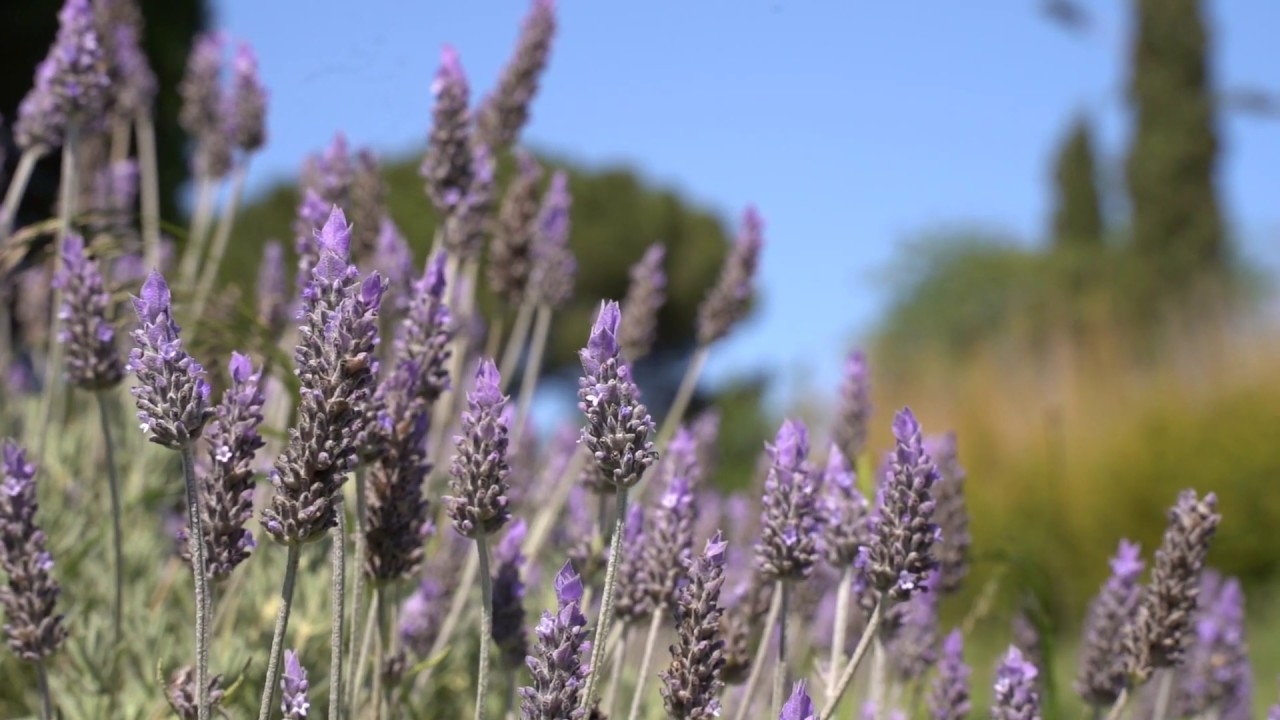 Free stock footage spring lavender flower slow motion video
