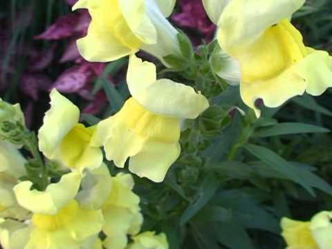 Bocca di leone fiori e piante della montagna bellunese for Bocca di leone in vaso