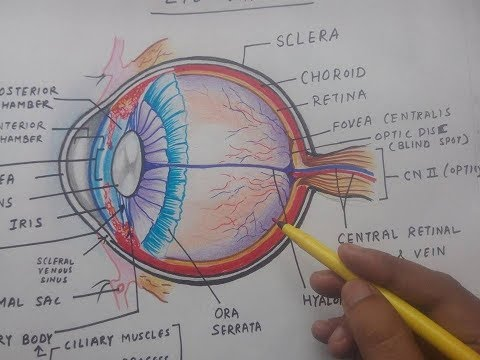 how to draw human eye    anatomy       diagram    easily  YouTube