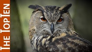 The Top Ten Most Beautiful Owls in the World