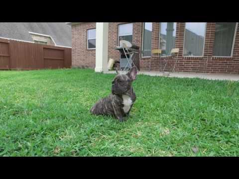 PuppyFinder.com : French Bulldog Jupiter