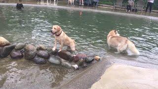 ラブラドールレトリバーの子犬リリー。 ワンコ達の楽園、ドギーズアイラ...