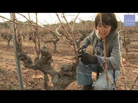 vinsdeprovence - Reportage - La taille de la vigne - 22/12/2011