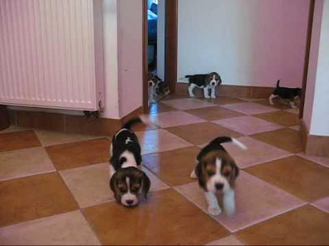 Beagle szczeniaki w wieku 7 tygodni