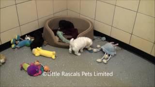 Little Rascals Uk Breeders New Litter Of Cavapoo Puppies