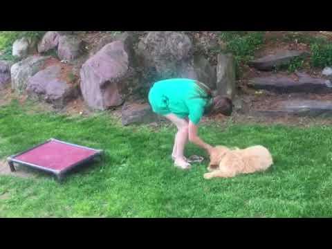 Labradoodle puppy training session - Oak