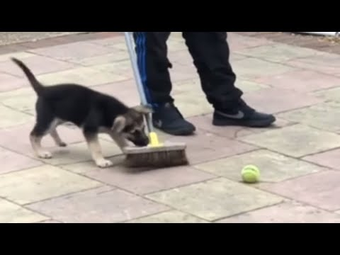 German Shepherd puppy repeatedly attacks broom