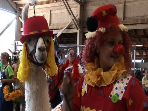 Llamas in costume -- and other llama tales - YouTube