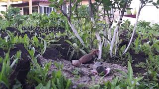 Земляная собачка или хомяк обыкновенный