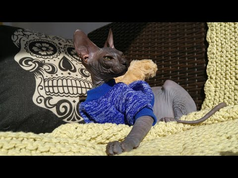 The beauty of sphynx cat's / DonSphynx