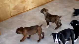 Boxer Mixed Puppies For Sale