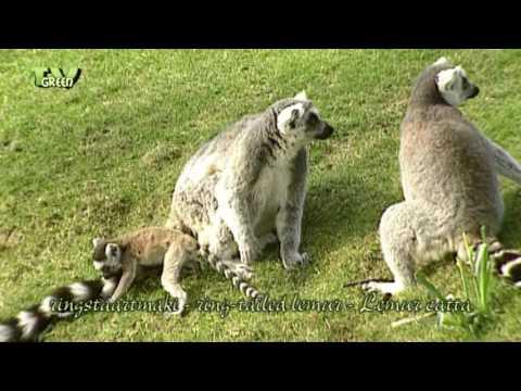 FaunaView: ringstaartmaki - ring-tailed lemur - Lemur catta