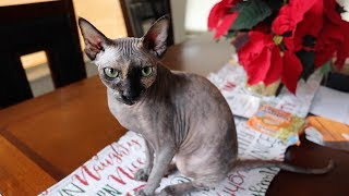 I MIGHT LOSE MY SPHYNX CAT