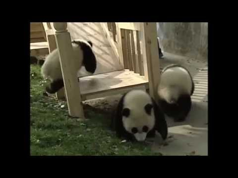 Research Base of Giant Panda Breeding, Chengdu, China