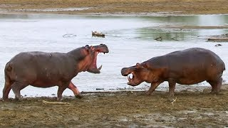 Hippos Struggle for Access to Water | BBC Earth