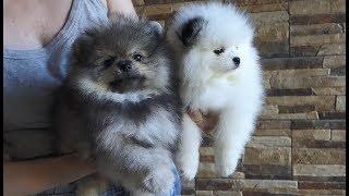 Игрушечные собачки - померанские шпицы. Toy dogs are Pomeranian Spitz.