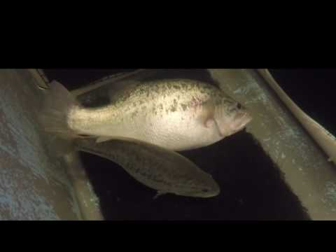 Video From The Field: Bass Spawning At The Texas Freshwater Fisheries Center