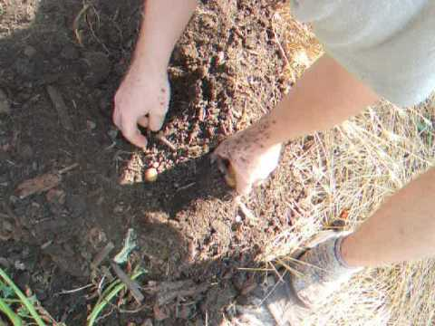 выращивание картофеля в бочках часть3 сбор урожая картофеля