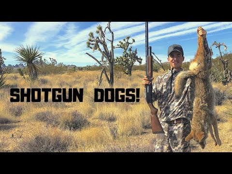 Coyote Hunting with a Hornady SHOTGUN Shells – New Caller and Gear!