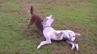 Foxy versus Great Dane, Benny.MOD