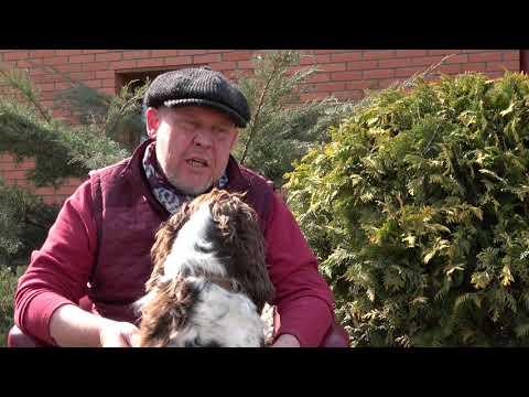 Английский спрингер-спаниель. Охотничьи собаки в Казахстане