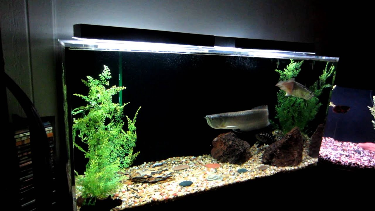 Acrylic Aquarium Set Up Rainbow Silver Arowana S And Jaguar