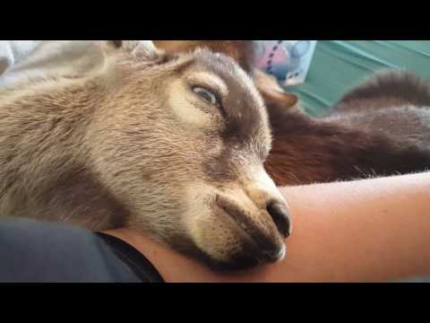 REM and dream state in a baby goat! Crazy dreaming goat caught on video