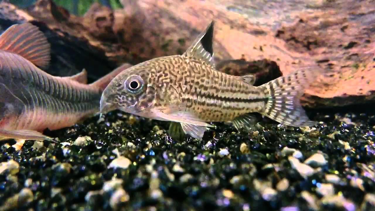 Corydoras julii julii cory or leopard catfish youtube for Cory cat fish