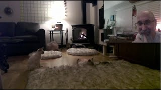 Kittens Playing: Sal & Veeya's Live Stream Workout  Lilac Lynx Balinese Cats, Two Brothers