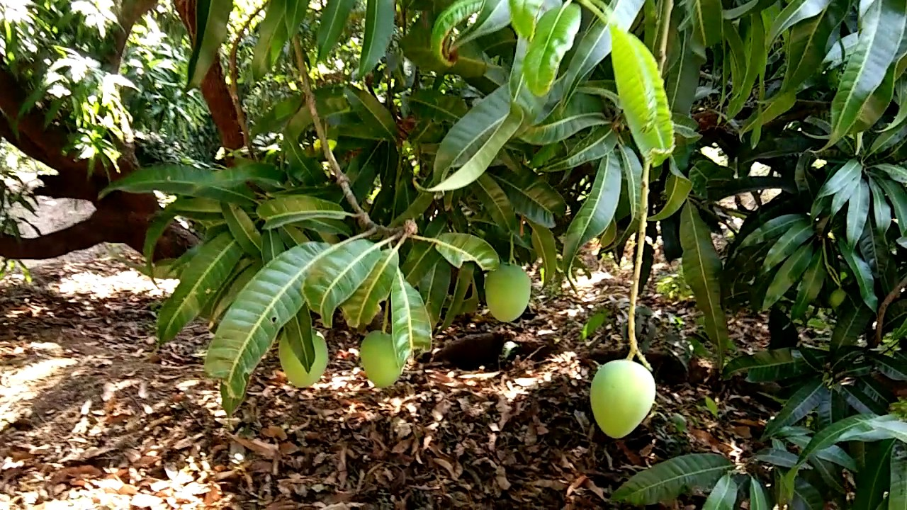 Devgad hapus mango farm - YouTube