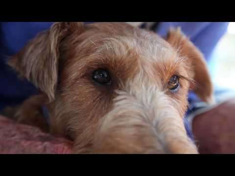 Irish Terriers and the Great War