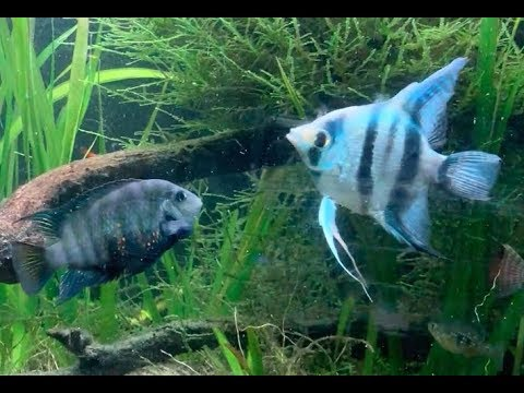 Angelfish Vs Convict Cichlid Fight (also Skin Flukes)