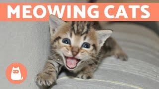 CATS MEOWING COMPILATION 😸 (Talkative Cats & Kittens)