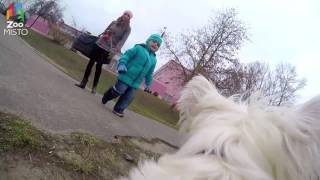 ГоПро и Вест Хайленд Уайт Терьер - Мир глазами собаки / GoPro and West Highland - Go pro dog