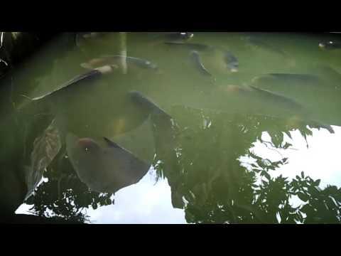 Survei Ikan Gurame 1 Ekor 1 Kg