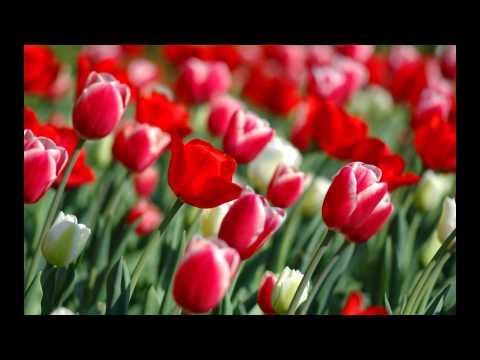 Красивые Тюльпаны\BeautifulFlowers