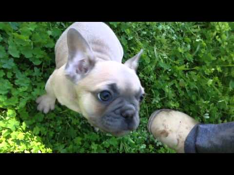AKC blue fawn, cream, and honey pied French Bulldog puppies