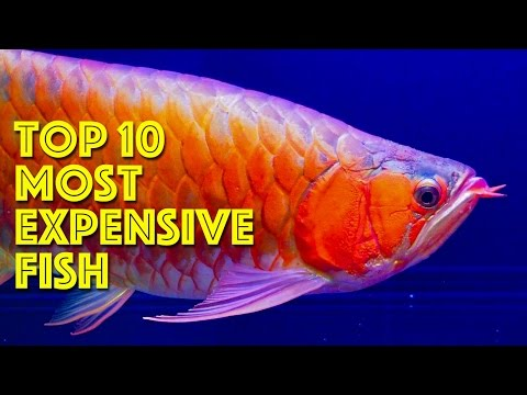Top 10 Most Expensive Aquarium Fish