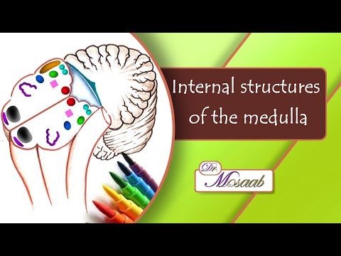 Internal structures of the medulla