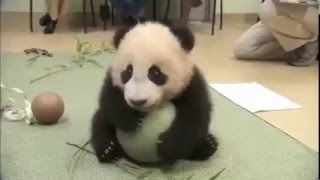 Маленькая панда с мячиком! Смешное видео!