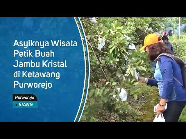 Asyiknya Wisata Petik Buah Jambu Kristal di Ketawang Purworejo