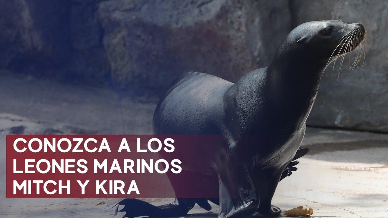Mitch y Kira, los leones marinos que se convierten en los nuevos huéspedes del Zoológico La Aurora