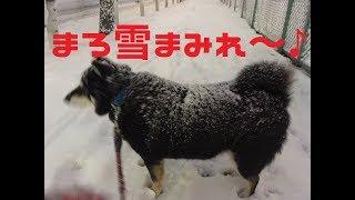~柴犬まろ~ 40過ぎの おっさんだよね?? ~Shiba inu maro~ thumbnail