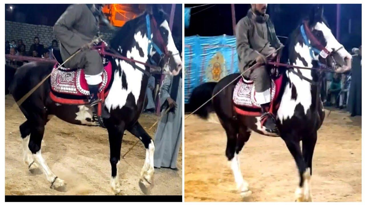 حصان فلسطيني ملون ابيض × كستناوي جسم ناار لعب ورهوان