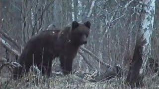 Глухари и медведь на току / Tetrao urogallus / Ursus arctos