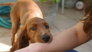Прикусывания.  Собака - друг человека. Воспитание без насилия. Метод Пола Оуэнса.