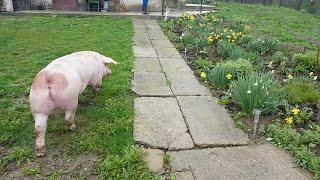 Am scos porcul la plimbare